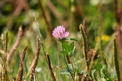 Clover (careth@2012) Tags: flower nature nikon britishcolumbia 55300mm nikond3300 d3300