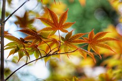 The changing colors (JPShen) Tags: maple leaf leaves change color changing bokeh