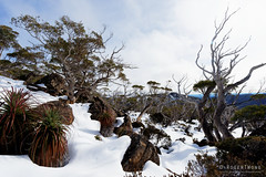 20160807-05-Snowgums in snow (Roger T Wong) Tags: australia mtfield mtfieldnationalpark np nationalpark sel1635z sony1635 sonya7ii sonyalpha7ii sonyfe1635mmf4zaosscarlzeissvariotessart sonyilce7m2 tasmania bushwalk hike outdoors snow snowgum tramp trek walk winter