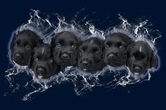 Freya's puppies (K.Verhulst) Tags: freya stabyhoun friesestabij stabij hond dog pet huisdier pup puppy malikmorris mynckmarcello manumazal mattheomylo mynoumarea meyamagica ~themagicofcolours~ix