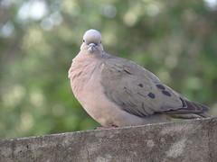 DSC05755 (familiapratta) Tags: sony dschx100v hx100v iso100 natureza pssaro pssaros aves nature bird birds novaodessa novaodessasp brasil