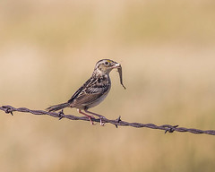 SPARROW, Grasshopper (teddcenter) Tags: bird grasshoppersparrow molt montana sparrow stillwatercounty