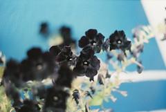 Black Flower (Asia Iurlo) Tags: black flowers blackflower blue home