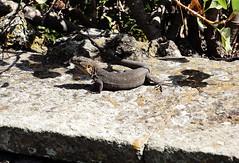 Lucertola Canaria cropDSC00889 (massimocenedese) Tags: lucertola gigante di gran canarianature animaliel lagarto de canaria giardino botanico sony a6000