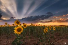 Sunset in Castilla (Caramad) Tags: quintanilladelamata burgos landscape sunset flower girasol flor castillalen puestadesol sunflower