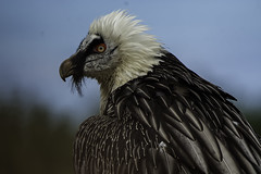 vulture (Megadrowsy) Tags: beardedvulture eagleworldcom
