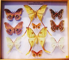 Saturnidae Family --  Giant Silk Worm Moth collection at the University of Florida 9101 (Tangled Bank) Tags: florida museum natural history butterfly butterflies moth collection tray cabinet insect lepidoptera arthropod