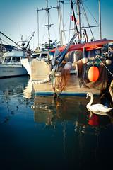 Swan at Marina of Steveston Fisherman's Wharf, in Richmond BC Canada (TOTORORO.RORO) Tags: panasonic zs100 bc canada greatervancouver britishcolumbia richmond vancouver sunset fraserriver steveston fishermanswharf fish market lifestyles