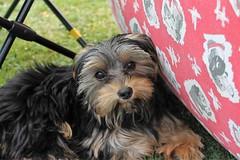 Flo at Oakham Fun Day Cutts Close Oakham (@oakhamuk) Tags: flo oakhamfunday cuttsclose oakham rutland martinbrookes yorkiepoo puppy