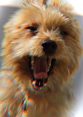 DSC_1190 (pec69) Tags: dog dogs pet pets yorkshire terrier yorkie