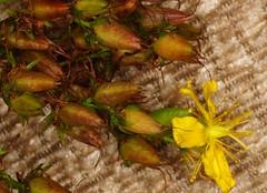 Perforate St John's Wort - Hypericum perforatum (Ben Grader) Tags: flower bloom blossom weed wild plant sepil petal stamen leaf stem pistil raceme culpeper sony slta77 tamron perforatestjohnswort hypericumperforatum