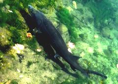 One sturgeon (EcoSnake) Tags: sturgeon whitesturgeon fish livingfossil prehistoric water wildlife september idahofishandgame naturecenter