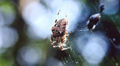 Araneus diadematus (red.fox.child) Tags: spider araneus diadematus arachnid invertebrata garden forest bokeh macro closeup wildlife wild animal animals nature canoneos600d