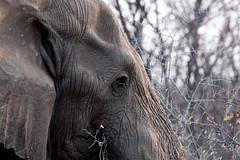 Profile of an elephant (leendert3) Tags: africanelephant ngc sunrays5