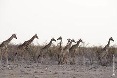 DSC_3705.JPG (manuel.schellenberg) Tags: namibia animal etosha nationalpark giraffes