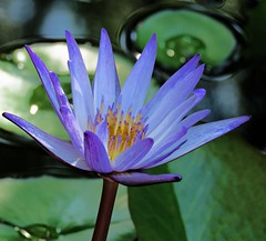 morning glory (oneroadlucky) Tags: nature plant flower lotus waterlily purple