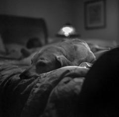 Dog Tired (macromary) Tags: mamiyac220 mamiya florida 120 analog vintage 120film c220 mediumformat tlr dog labrador labradorretriever sleeping dogsleeping bed sleep snooze