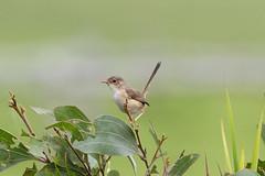 IMG_9458 (Dan Armbrust) Tags: armbrust danarmbrust queensland australia australianbirds julatten 7d cannon