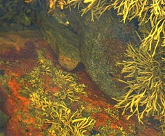 more out of water experiences .... (Edinburgh Nette ... off for a wile) Tags: rockpools mull september16 water sea abstract seaweed