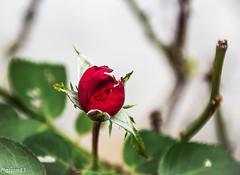Eclosion de rose... (Crilion43) Tags: rose france tamron divers jardin centre paysage canon vreaux fleurs 1200d cher objectif blanche brouillard herbe jaune nature rouge rflex saumon