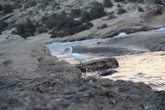 Garza chica (alexsv92) Tags: garza pajaro alicante amanecer mar oceano mediterraneo