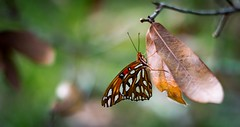 Buttafly (MyMazeyCat) Tags: butterfly nature nikon d3300 nikond3300 brown orange yellow outside orangeparkfl fall autumn
