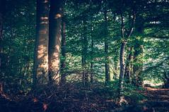 Magic Forests (lutzheidbrink) Tags: nature forest naturephotography naturschutzgebiet landscape tree trees nikon d5000 light shadow
