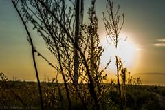 West Texas Morning (12 of 40) (mharbour11) Tags: wildcats elk purple sunrise westtexas texas sky windturbines windmill sun silhouettefire silhouette