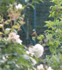 blury roses (dennoir) Tags: blury roses
