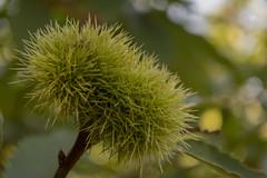 Nueva temporada (loreto Gs) Tags: castaña pinchos verde nikon bizcaia
