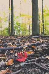 Red Leaf (trouble4dan) Tags: 2016 danhamill autumn fall forest leaf leaves mapleleaf sticks trees