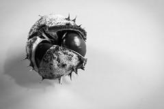 Kastanie 2016 (Stille Wasser) Tags: herbst kastanie frucht stachlig schale braun schwarzweis monochrom