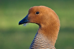 (JOAO DE BARROS) Tags: barros joo animal bird portrait