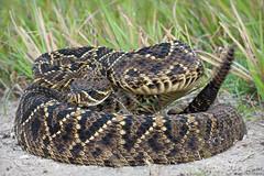Eastern Diamondback Rattlesnake (Nick Scobel) Tags: eastern diamondback rattlesnake crotalus adamanteus rattler venomous snake viper florida