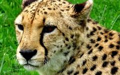 Closeup Cheetah (JayVeeAre (JvR)) Tags: ©2016johannesvanrooy animal animals cat cheetah hamilton hamiltonhilldalezoopark hamiltonnewzealand hamiltonzoo hamiltron johannesvanrooy johnvanrooy gimp28 nature park picasa3 httpwwwpanoramiocomuser1363680 httpwwwflickrcomphotosjayveeare johnvanrooygmailcom gimpuser gimpforphotography canonpowershotsx60hs zoo