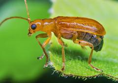 Leaf Beetle (rejaul_karim.rk69) Tags: hoplasomaunicolor chrysomelidae nikond3100 afsdxnikkor1855mmf3556gvr leafbeetle beetle