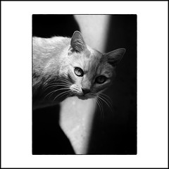 ... (jean76_58) Tags: jean7658 pentax portrait graphisme graphic chat cat pet kitty kitten animals animaux animal blackwhite bw noirblanc nb monochrome monotone highlights contrast contraste pe