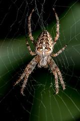 Center Stage - _TNY_0580S2 (Calle Söderberg) Tags: macro canon canon5dmkii canonef100mmf28usmmacro canoneos5dmarkii raynox dcr250 meike mk300 flash glassdiffusor araneus diadematus diademspider cross crossorbweaver crownedorbweaver korsspindel spindel spider spiderweb web focusstacking stacked photoshop stacking autofocus 5d2 araneae arachnida kreutzspinne spinne orbweaver hjulspindel