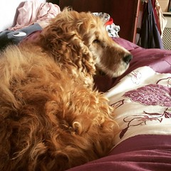 Photo of Woke up to this fluff ball curled up on my bed he looks so adorable #cute #lucky_dog #sleepy #awwwww