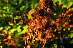 Going Down Fighting (~nevikk~) Tags: thistle spikes thorns hostile defensive invasive kevinkelly bokeh green brown orange gold