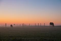 Misty morning (Infomastern) Tags: sdersltt animal countryside dawn dimma djur fog gryning horse hst landsbygd landscape landskap mist soluppgng sunrise exif:model=canoneos760d exif:aperture=45 geocountry camera:make=canon geocity camera:model=canoneos760d geostate geolocation exif:lens=efs18200mmf3556is exif:focallength=50mm exif:isospeed=3200 exif:make=canon