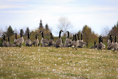 Migration Mania (Don Arsenault) Tags: geese bird nature canada camrose canoneos5dmarkii sigmadg150500f5663apohsm alberta donarsenault