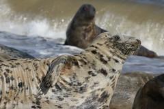 Grey Seal (Halichoerus grypus). (Sandra Standbridge.) Tags: greyseal halichoerusgrypus beach waves costal outdoor mammal animal wildandfree wild