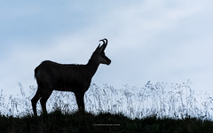 silhouette (ciwi8) Tags: animal silhouette gams chamois vogesen vosges grass sommer evening horn hrner geweih horns