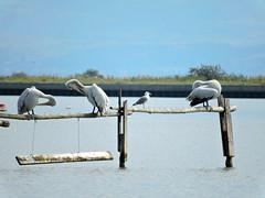 three pelicans was sitting (Samy Teo) Tags: kalochori