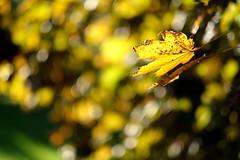 sunbathe (Andreas669) Tags: ahorn bltter bltterwald blatt herbst herbstlichter herbststimmung park leaves yellow maple light bokek sunset sunrays enns schlosspark fuji xf56 12 fujifilm 56mm xf xf56f12 autumn fall