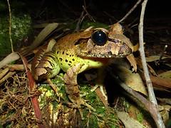 Fleay's Barred Frog (Mixophyes fleayi) (Frogging Around) Tags: fleaysbarredfrog mixophyesfeayi springbrooknationalpark goldcoasthinterland endangered seq