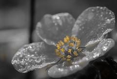 mutant (krllx) Tags: autumn closeup closeuplens droplets flower frost light macro nature pearls plant plants water waterdroplets yellow 20161006dsc03722201610061