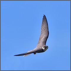 Hobby (image 2 of 3) (Full Moon Images) Tags: rspb sandy thelodge lodge wildlife nature reserve bird prey birdofprey flight flying hobby