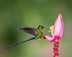 Bird, Bees and Banana Flower (Andy Morffew) Tags: violettailedsylph hummingbird bananaflower bees perched feeding ecuador andymorffew morffew naturethroughthelens tandayapabirdlodge
